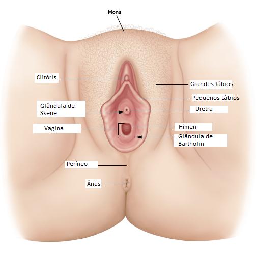 Image du plancher pelvien féminin - Lubrification féminine